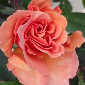 Reiki Develops like a Rose